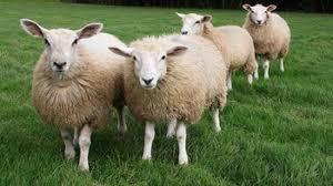 budidaya peternakan domba garut